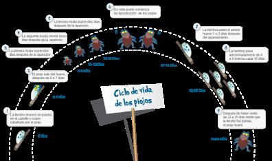 ciclo vida