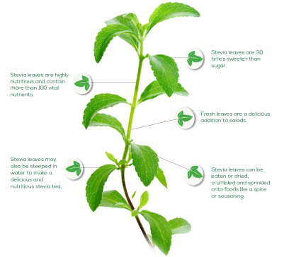 stevia-plant-facts1